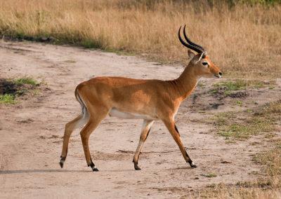 Kob, Queen Elisabeth Park, Uganda, Foto-Nr. 423