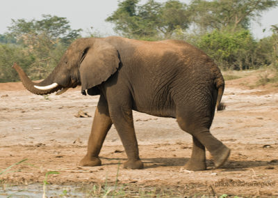 Elefant, Queen Elisabeth Park, Uganda, Foto-Nr. 426