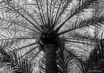 Palme in Marrakesch (MAR), Foto-Nr. 249