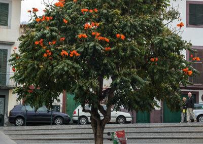 Baum in Funchal, Madeira (PRT), Foto-Nr. 267