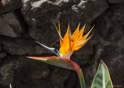 Strelizie (Papageienblume), Foto-Nr. 278