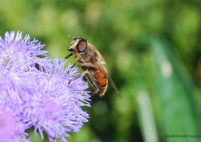 Schwebfliegen, Foto-Nr. 151