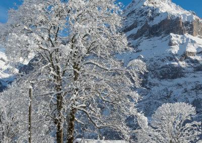 Verschneiter Baum in Grindelwald, Foto-Nr. 552