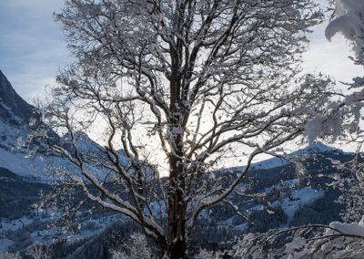 Verschneiter Baum in Grindelwald, Foto-Nr. 109