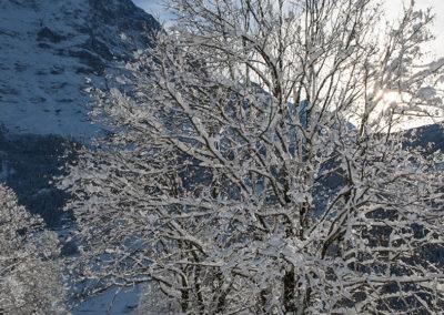 Verschneiter Baum in Grindelwald, Foto-Nr. 551