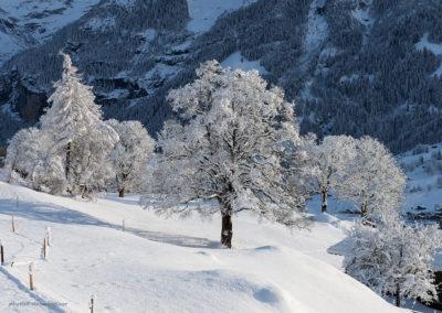 Verschneiter Baum in Grindelwald, Foto-Nr. 553