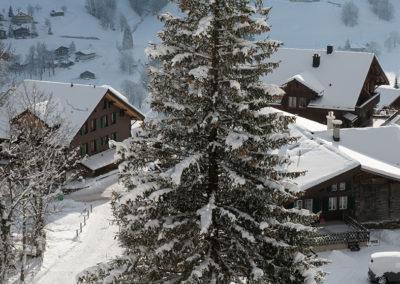 Verschneite Tanne in Grindelwald, Foto-Nr. 554