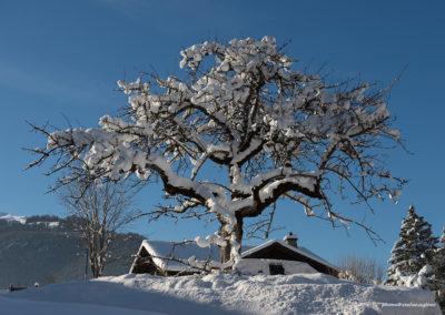 Verschneiter Baum in Grindelwald, Foto-Nr. 555