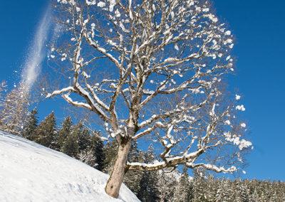 Verschneiter Baum in Grindelwald, Foto-Nr. 110