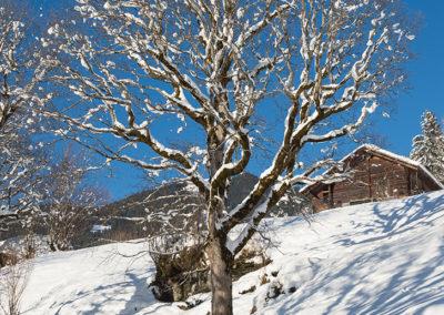 Verschneiter Baum in Grindelwald, Foto-Nr. 557