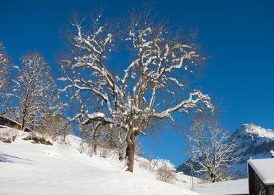 Verschneiter Baum in Grindelwald, Foto-Nr. 556