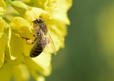 Biene auf Raps, Foto-Nr. 523