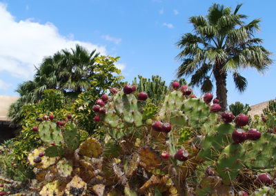 Kakteen in La Oliva, Fuerteventura (E), Foto-Nr. 434