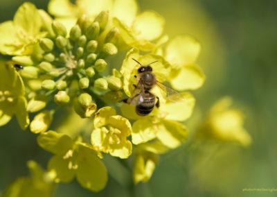 Biene auf Raps, Foto-Nr. 521