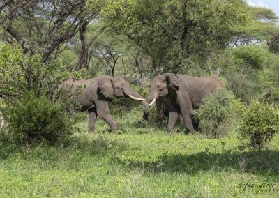 Spielende Elefanten, Tarangire NP (TZ)