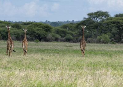 Giraffen, Tarangire NP (TZ)