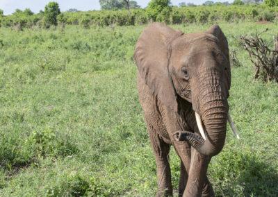 Tanzender Elefant, Tarangire NP (TZ)