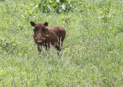 Warzenschwein, Tarangire NP (TZ)