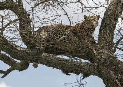 Leopard, Tarangire NP (TZ)