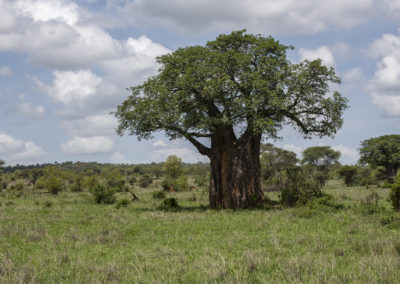 Baobab, Tarangire NP (TZ)