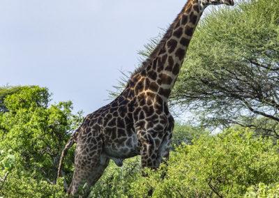 Giraffe, Tarangire NP (TZ)