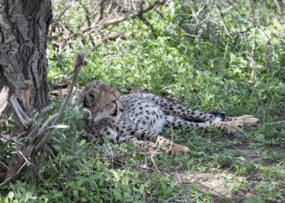Gepardenbaby mit vollem Bauch