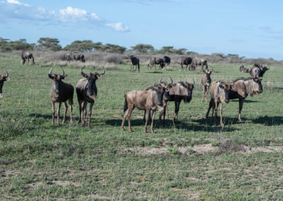 Gnuherde im Ngorongoro-Schutzgebiet (TZ)