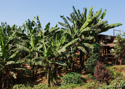 Bananenplantage, Uganda, Foto-Nr. 297