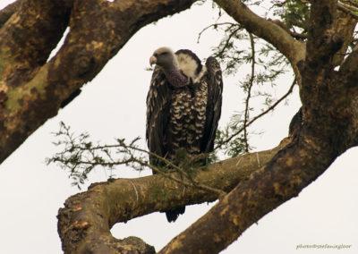 Sperbergeier, Murchison Fall National Park, Uganda, Foto-Nr. 290