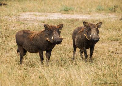 Warzenschweine, Murchison Fall National Park, Uganda, Foto-Nr. 306