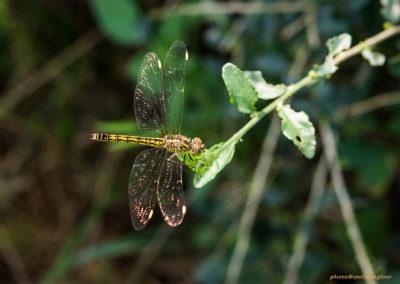 Libelle, Foto-Nr. 309