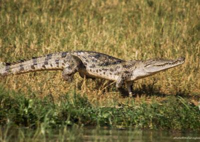 Aligator, Murchison Fall National Park, Uganda, Foto-Nr. 313