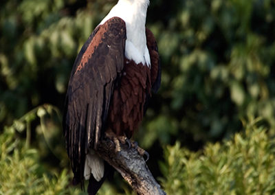 Schreiseeadler, Murchison Fall National Park, Uganda, Foto-Nr. 314