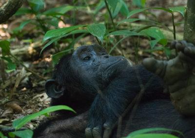 Chimpanse im Kibale Forest, Uganda, Foto-Nr. 407
