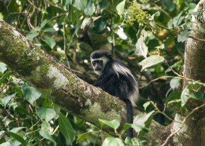 Mantelaffe, Kibale Forest, Uganda, Foto-Nr. 409