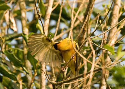 Webervogel im Kibale Forest, Uganda, Foto-Nr. 412