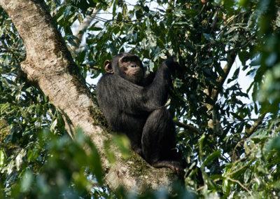 Chimpanse im Kibale Forest, Uganda, Foto-Nr. 406