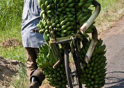 Bananentransport in der Nähe von Mubuku, Uganda, Foto-Nr. 416