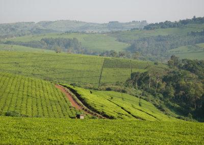 Teeplantagen in der Nähe von Hima, Uganda, Foto-Nr. 413