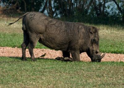Warzenschwein, Queen Elisabeth Park, Uganda, Foto-Nr. 417