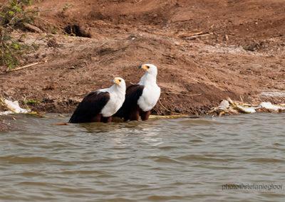 Schreiseeadler, Queen Elisabeth Park, Uganda, Foto-Nr. 424