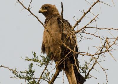 Schwarzmilan, Queen Elisabeth Park, Uganda, Foto-Nr. 421