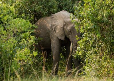 Elefant, Queen Elisabeth  Park, Uganda, Foto-Nr. 429