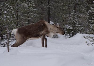 Rentier, Menesjärvi FI, Foto-Nr. 204