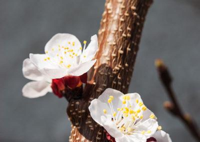 Aprikosenblüten, Foto-Nr. 128