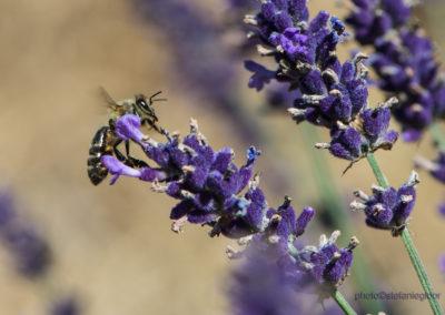 Biene auf Lavendel, Foto-Nr. 174