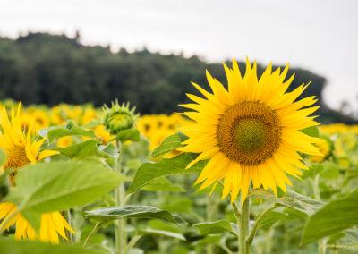 Sonnenblume, Foto-Nr. 502
