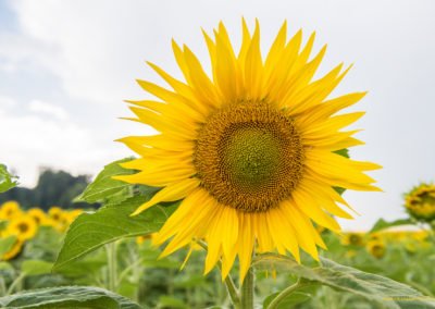 Sonnenblume, Foto-Nr. 503
