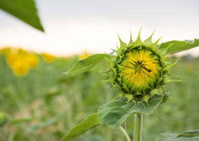 Sonnenblume, Foto-Nr. 501