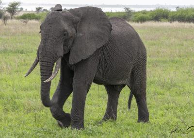 Elefant, Tarangire NP (TZ)
